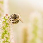 ape puntura