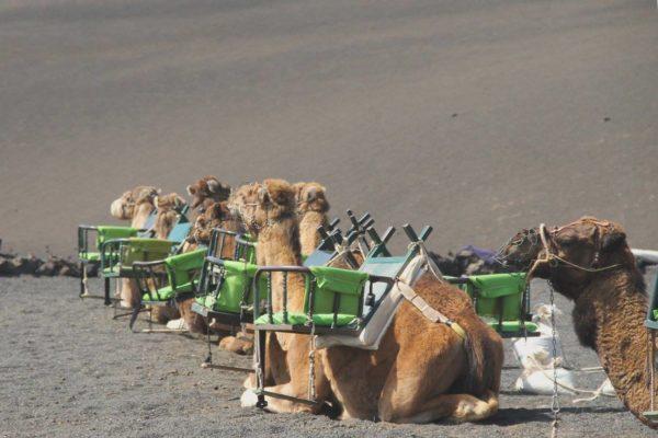 lanzarote cammelli