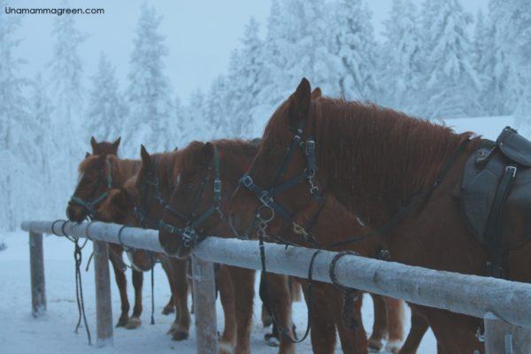 cosa fare in lapponia con i bambini_cavalli