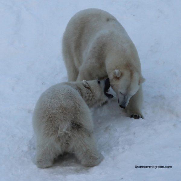 zoo ranua orsi polari
