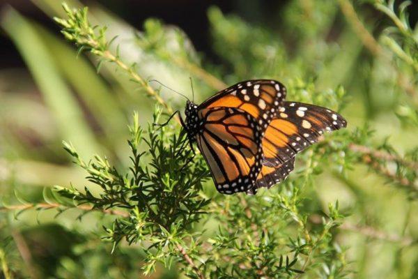 farfalle da allevare con bambini